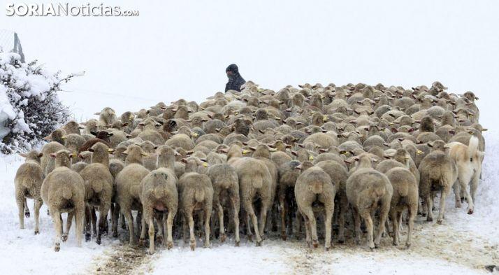 Merinas en Tierras Altas durante una nevada. /SN