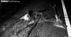 Un ciervo arrollado en la N-122 en El Madero. /SN