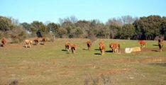 Imagen de ganado vacuno en una zona de la dehesa.