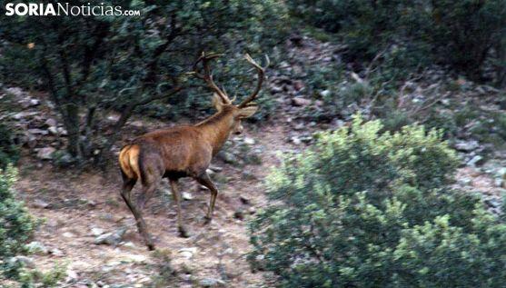 Un ciervo en una cacería en la provincia. /SN
