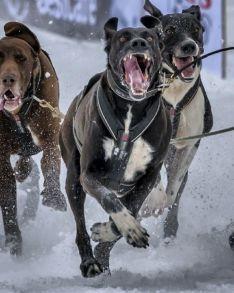 Jorge García tira del trineo con perros.