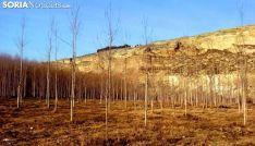 Una plantación de chopos. /SN
