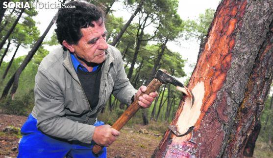 Un resinero en un pinar de Almazán. /SN