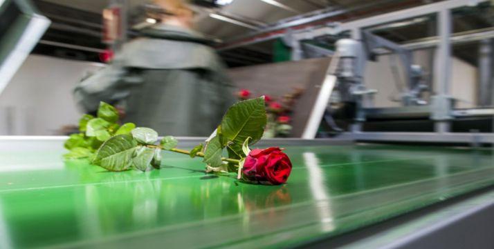 Una rosa tras el proceso de selección en las instalaciones de Garray. /AR