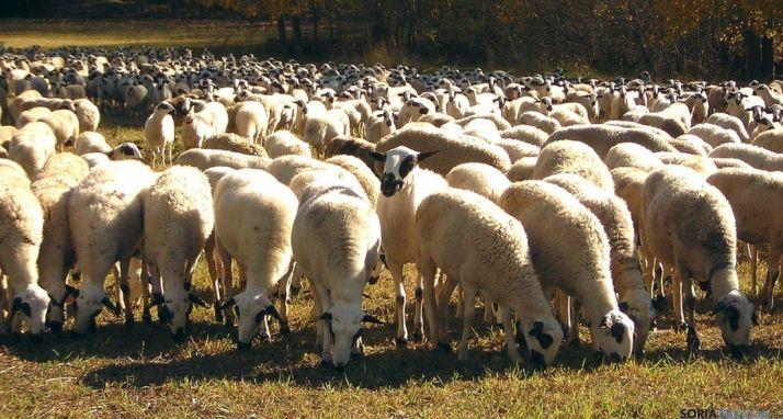 Cabezas de ovino ojalado, autóctono de la provincia.