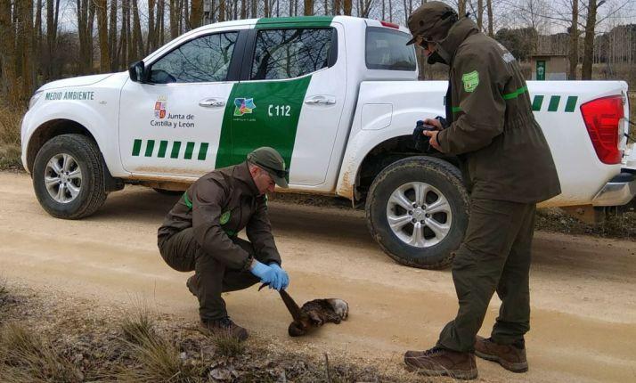 Los agentes de Medio Ambiente inspeccionan el cuerpo sin vida del mustélido. /Agentes Medioambientales