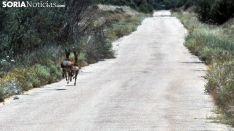 Dos corzos en una carretera provincial. /SN