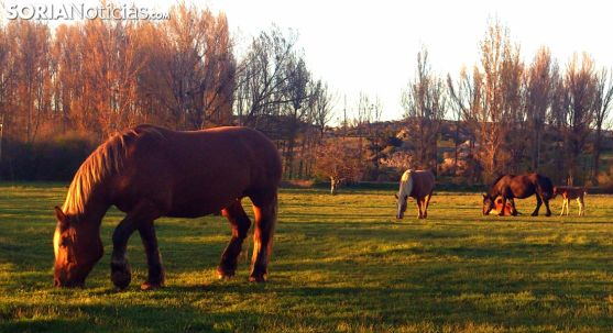 Cabezas de equino pastando en Valonsadero. /SN