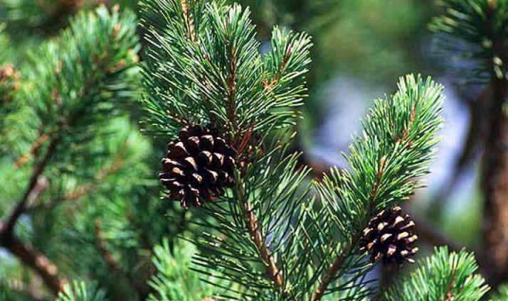 Ramas y piñas de un pino soriano.