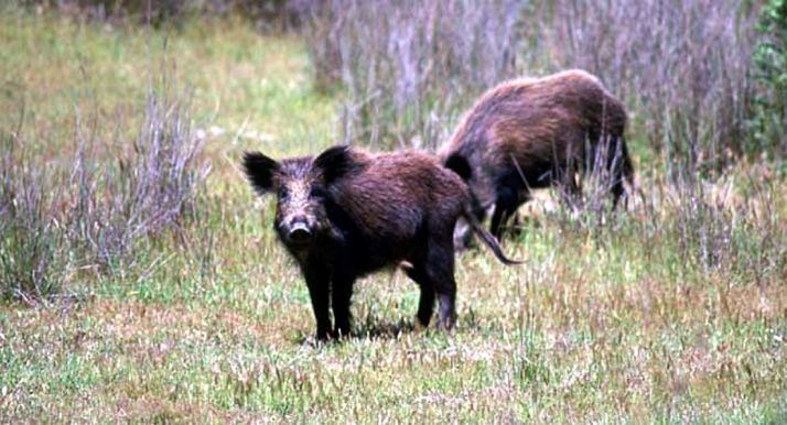 Foto 1 - Ven un gran riesgo traer jabalíes de áreas próximas a países con peste porcina africana