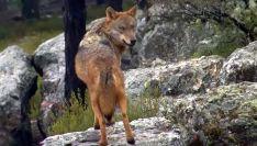 Un ejemplar de lobo ibérico en un monte de CyL.