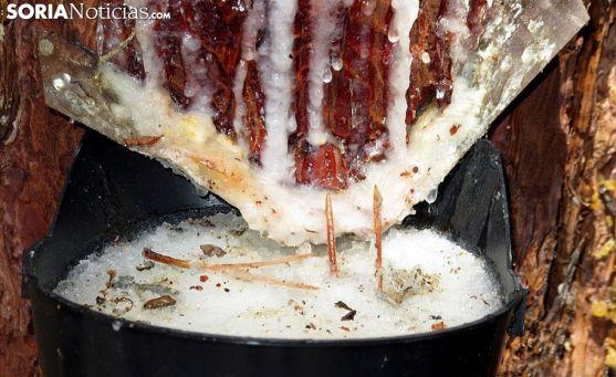 Un corte en un pino en la recolección de miera. /SN