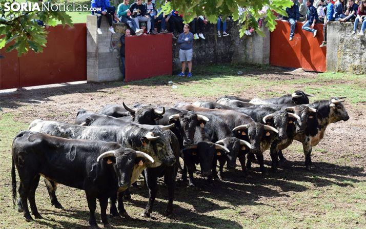 Los novillos de San Juan 2017 tras ser desembarcados en Valonsadero. /SN