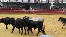 Llegada de los novillos a la plaza de toros de Soria