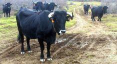 Varias reses de vaca serrana negra soriana.