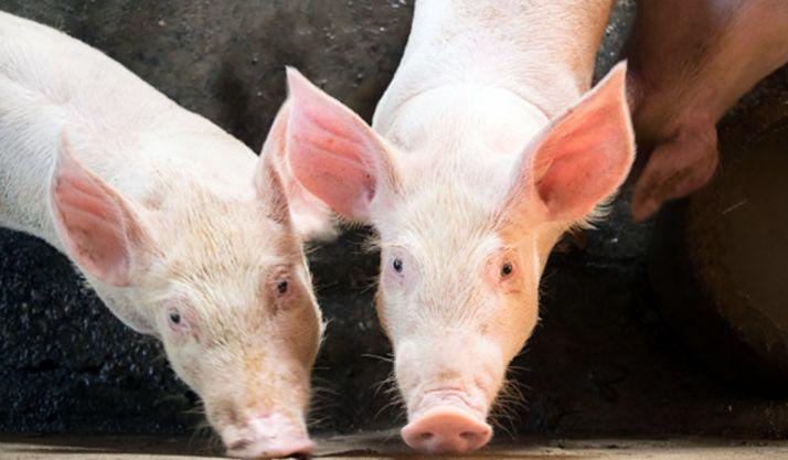 """Foto 1 - El sector del porcino, hacia un """"modelo ganadero moderno y sostenible"""""""