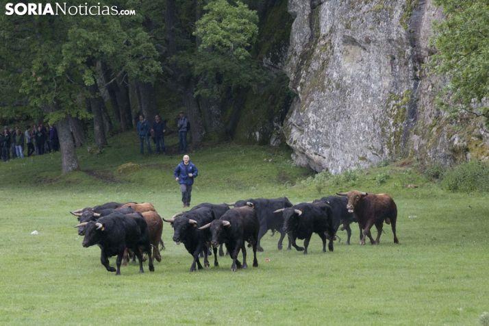 Foto 1 - Sorteados los novillos en las 12 cuadrillas para La Saca y el Viernes de Toros