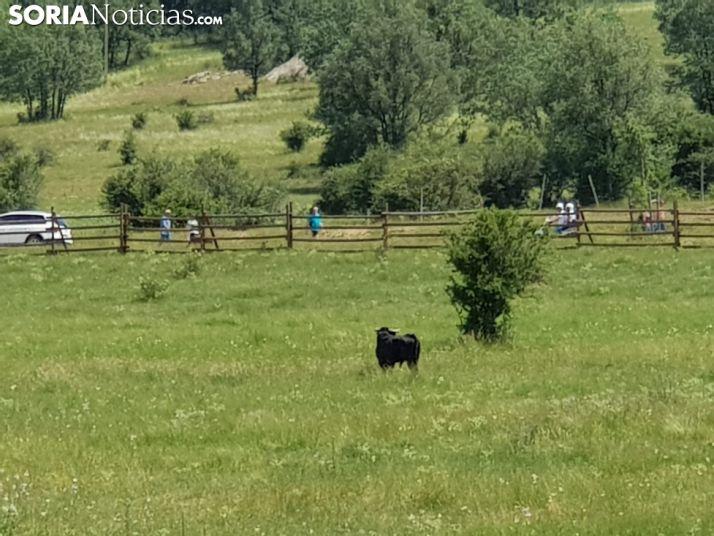 El toro rezagado, en un corral junto al camino de Pedrajas. SN