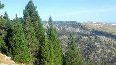 Un estudio de la Uva afirma que los pinos negros del Pirineo se expanden con mayor rapidez de lo habitual