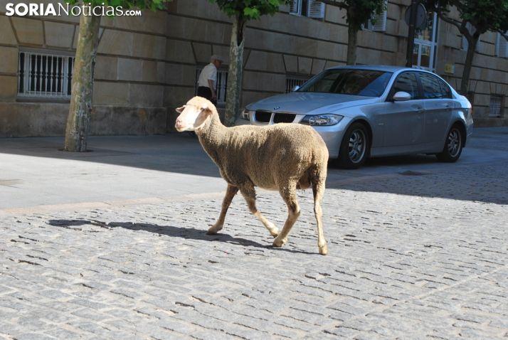 Una oveja descarriada del grupo a la altura de la Subdelegación. /SN