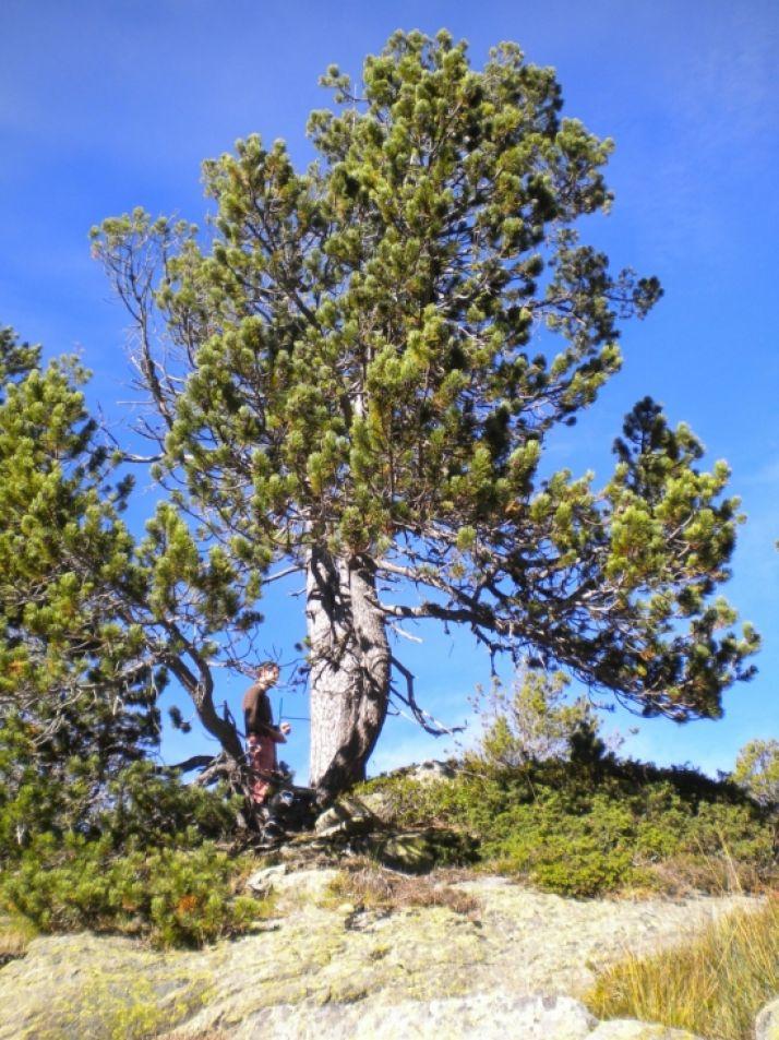 Foto 2 - Un estudio de la Uva afirma que los pinos negros del Pirineo se expanden con mayor rapidez de lo habitual
