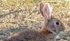 Foto 1 - CyL comienza este miércoles la media veda y flexibiliza la captura del conejo