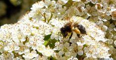 Enjambrazón o el fenómeno de las abejas okupas