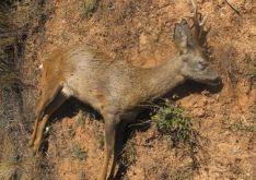 Investigado un cazador por dar muerte a un corzo sin autorización