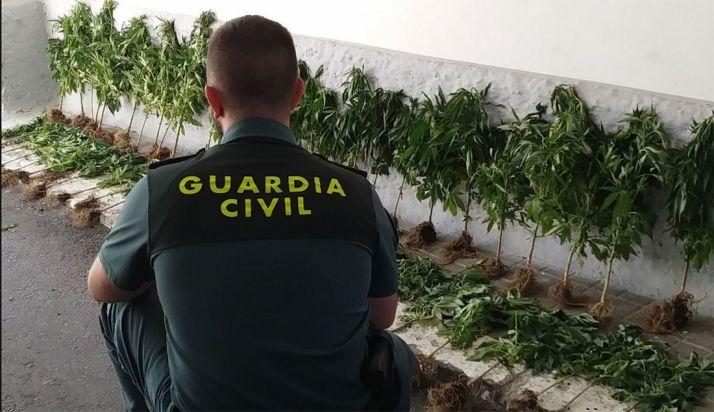 Un agente con las plantas decomisadas. /GC