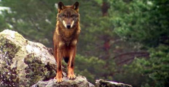 Un ejemplar de lobo en un monte de CyL.