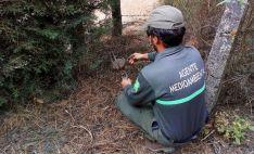 Un agente medioambiental retira el cepo. /Jta.