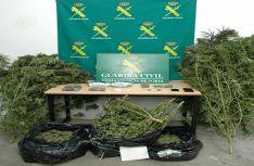 Plantas incautadas en la operación. /GC