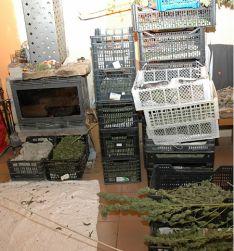 Foto 3 - Desarticulada una plantación de marihuana entre Los Rábanos y Carbonera de Frentes