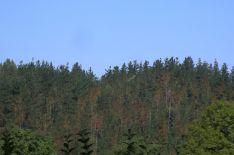 Aspecto del pino afectado por la enfermedad de la banda roja o marrón, que se está extendiendo de manera importante por los pinares del País Vasco.