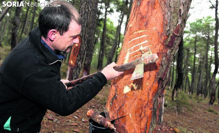 Un resinero en labores de recolección en un pinar de la provincia. /SN
