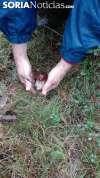 Las malas campañas micológicas de los últimos años están generando un debate sobre la adecuada gestión de los recursos de los bosques sorianos.