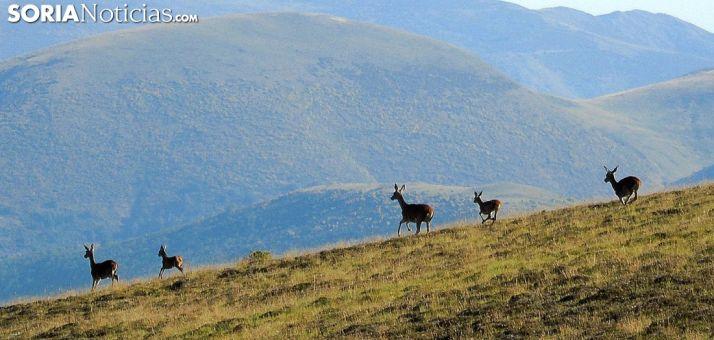 Ciervas en la Sierra de Urbión. /AS
