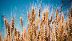 Espigas de trigo antes de la cosecha.