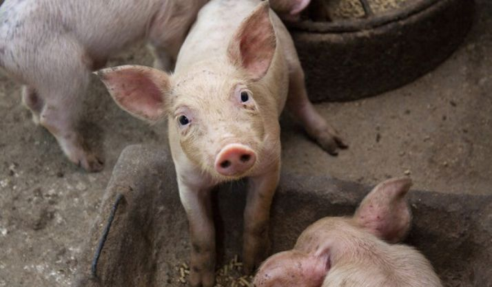 Cidones gana la primera batalla a la macrogranja de cerdos