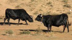Dos vacas de la raza autóctona soriana.