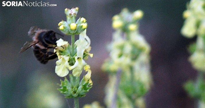 Una abeja libando en un campo de Soria. /SN