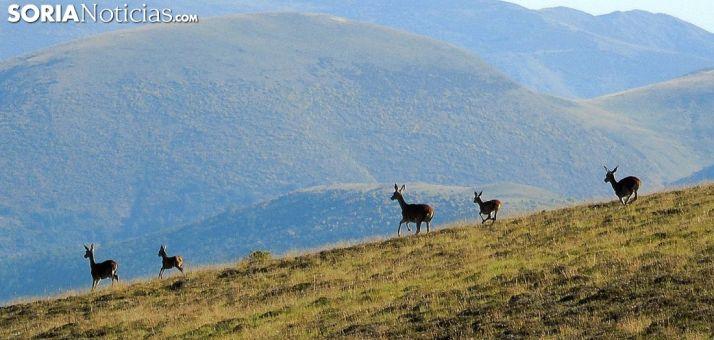 Ciervos en el entorno de Urbión. /AS