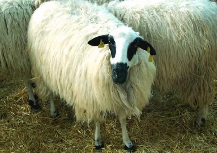 Foto 1 - Se investiga a un vecino de Morón por comprar ovejas en León y no pagarlas