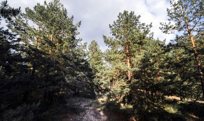 Foto 1 - Tres variedades de pino componen el 43% de la superficie arbolada de la provincia