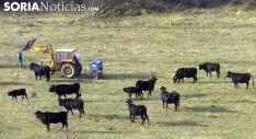 Vacas de serrana negra en Taniñe, en una imagen de archivo. /SN