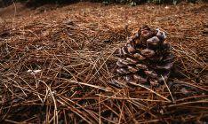 La tasa de aprovechamiento en pinares gestionados por la Junta pasa del 35 % al 60 % en los diez último