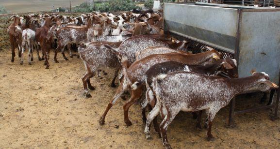 Cabezas de ganado caprino.