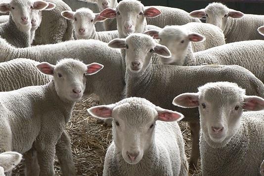 Foto 1 - CyL afianza el programa de lucha contra maedi visna y artritis y encefacilitis caprina en el sector ovino y caprino