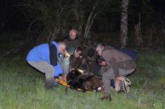 Foto 5 - La Junta rescata un oso herido en León que ya se recupera Cantabria