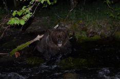 Foto 3 - La Junta rescata un oso herido en León que ya se recupera Cantabria